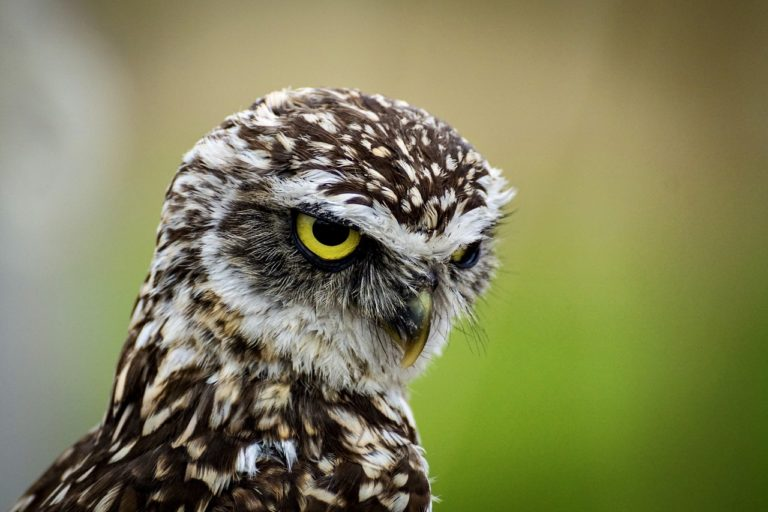 Japanese Owl Meaning and Symbolism