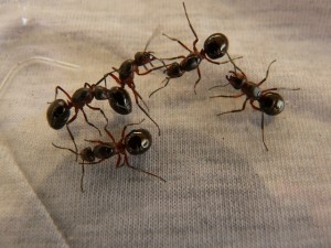 Get Rid of Ants with Diatomaceous Earth, Seekyt