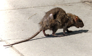 Are London's Rats Out Of Control?, Seekyt