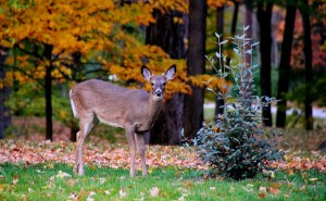 Attracting Whitetail Deer with Habitat
