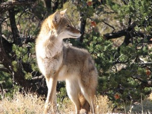 What do you DO if you Encounter a Coyote in Neighborhood?, Seekyt