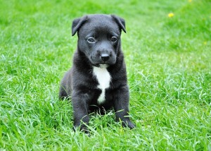 American Pit Bull Terrier Are Great Dogs for  Families